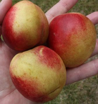 Nectarines in hand